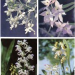 на открытках 0045 150x150 - Орхидеи на открытках