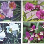 на открытках 0046 150x150 - Орхидеи на открытках