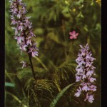 на открытках 0068 150x150 - Орхидеи на открытках