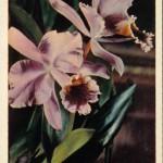 на открытках 0071 150x150 - Орхидеи на открытках