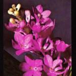 на открытках 0073 150x150 - Орхидеи на открытках