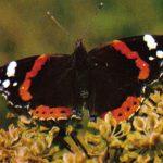 Адмирал  150x150 - Бабочки