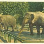 Азиатские слоны 150x150 - Ленинградский Зоопарк