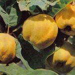 Айва 150x150 - Различные растения