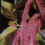 Акалифа щетинисто волосистая 150x150 - Цветы