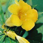 Алламанда катартика 150x150 - Цветы