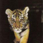 Амурский тигрёнок  150x150 - Другие животные