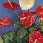 Антуриумы 1 150x150 - Цветы