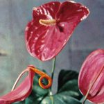 Антуриумы 2 150x150 - Цветы