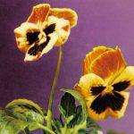 Анютины глазки два цветка 150x150 - Цветы