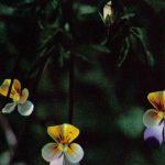 Анютины глазки на клумбе 150x150 - Цветы