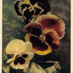 Анютины глазки три цветка 150x150 - Цветы