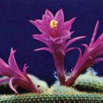 Апорокактус плетевидный 150x150 - Цветы