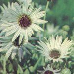 Арктотис 150x150 - Цветы