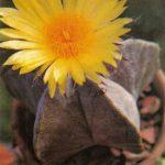 Астрофитум точечный 150x150 - Цветы