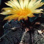 Астрофитум украшенный 150x150 - Цветы