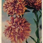 Астры 1 150x150 - Цветы