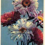 Астры 2 150x150 - Цветы