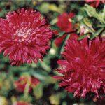 Астры 3 150x150 - Цветы