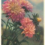 Астры 4 150x150 - Цветы