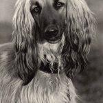 Афганская борзая 150x150 - Собаки чёрно-белые