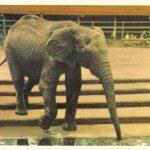 Африканский слон 150x150 - Ленинградский Зоопарк