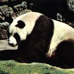 Бамбуковый медведь  150x150 - Другие животные
