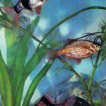Барбусы огненный и суматранский 150x150 - Аквариумные рыбки