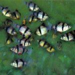 Барбус суматранский 150x150 - Аквариумные рыбки