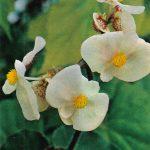 Бегония Альто Шарф Рамирес 150x150 - Цветы