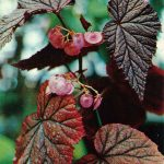 Бегония Артур Малле 150x150 - Цветы