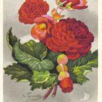 Бегония Песнь Москве 150x150 - Цветы