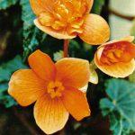 Бегония Пирса 150x150 - Цветы