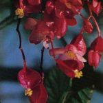 Бегония ампельная 150x150 - Цветы