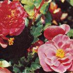 Бегония  150x150 - Цветы