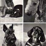 Без названия №№ 001 004 150x150 - Собаки чёрно-белые