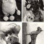 Без названия №№ 005 008 150x150 - Собаки чёрно-белые