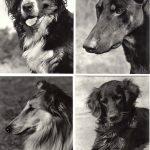 Без названия №№ 009 012 150x150 - Собаки чёрно-белые