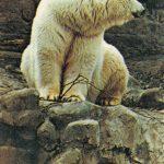 Белый медведь  150x150 - Другие животные