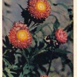 Бессмертники 150x150 - Цветы