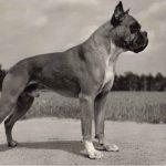 Боксёр 1 150x150 - Собаки чёрно-белые