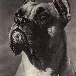 Боксёр 3 150x150 - Собаки чёрно-белые