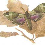 Бражник Татаринова  150x150 - Бабочки