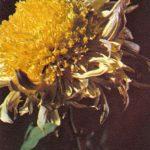 Брижитт 150x150 - Цветы