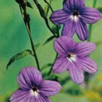 Броваллия красивая 150x150 - Цветы