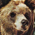 Бурый медведь  150x150 - Другие животные