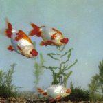Велюровые золотые рыбки 150x150 - Аквариумные рыбки