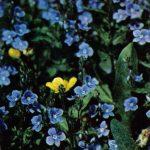 Вероника дубравная 150x150 - Цветы