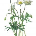 Ветреница лесная 150x150 - Цветы