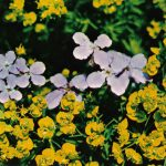 Вечерница Стивена и молочай кипарисовый 150x150 - Цветы